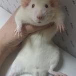 Крысята кастраты, Екатеринбург