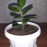 растение-денежное дерево, Екатеринбург