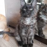 Котенок мейн-кун черного дымного окраса, Екатеринбург