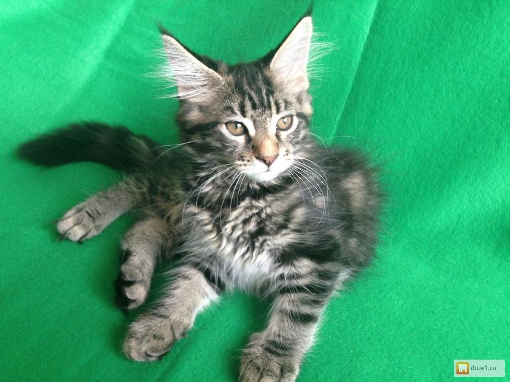 Котенок мейн кун в новом доме