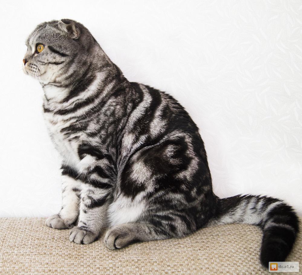 очень шотландский вислоухий котенок фото мраморный такие