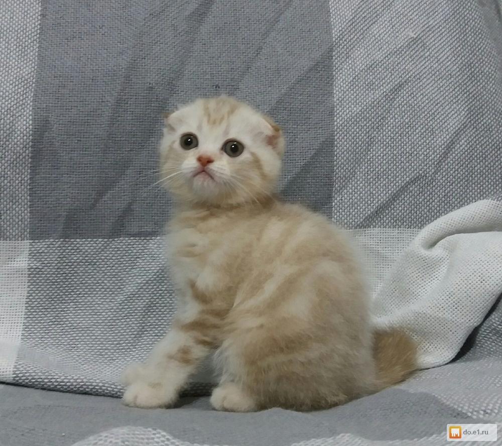 вислоухие котята редкие окрасы фото поздно, пожелаю счастья