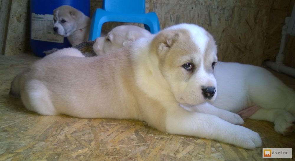 некоторые способы продажа собак алабаев ростовская область Вакансии Рыбный