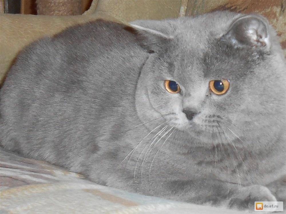 картинки британских котов вислоухих жирный