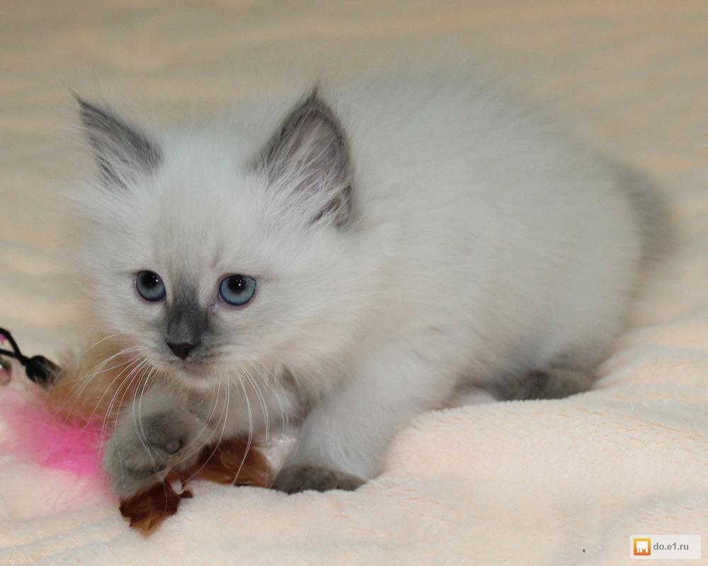 Котята невская маскарадная фото можно