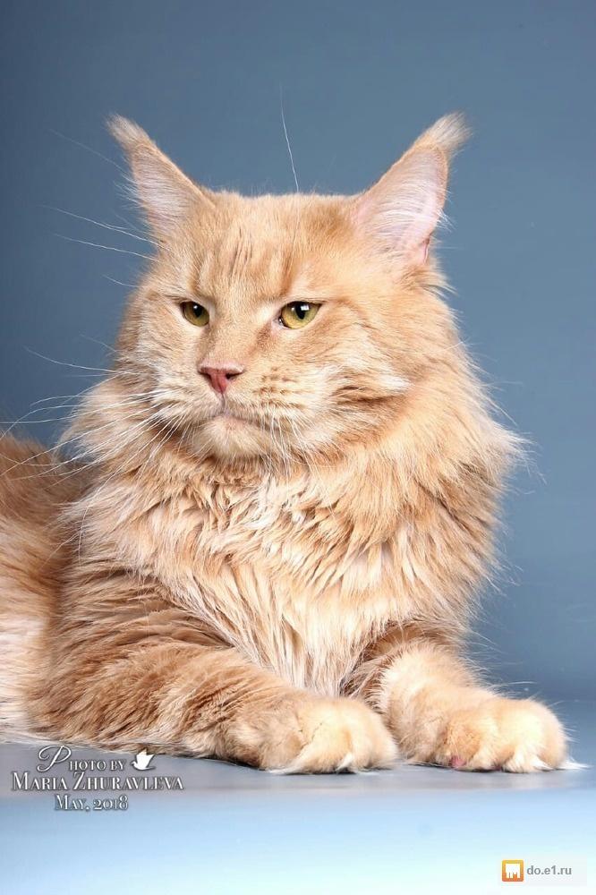 кремовый мейн кун фото котенок всех, кто рассматривает