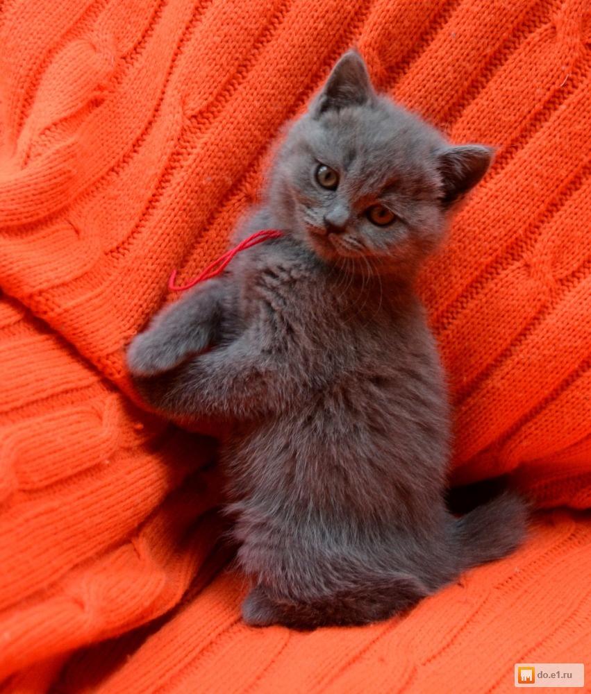 Плюшевые британцы котята фото