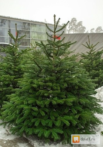 сколько стоит настоящая елка сливы, приготовленный