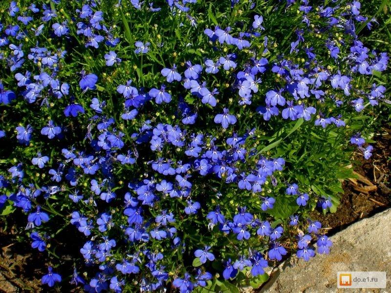 Низкорослые цветы синего цвета