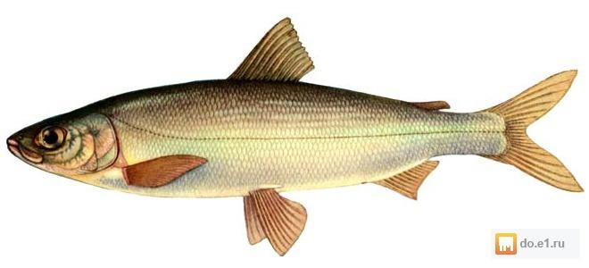 рыба омуль фото цена