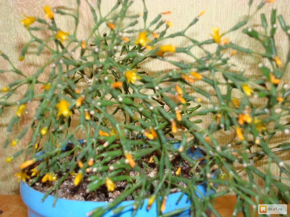 Комнатные цветы которые цветут жёлтыми цветами фото