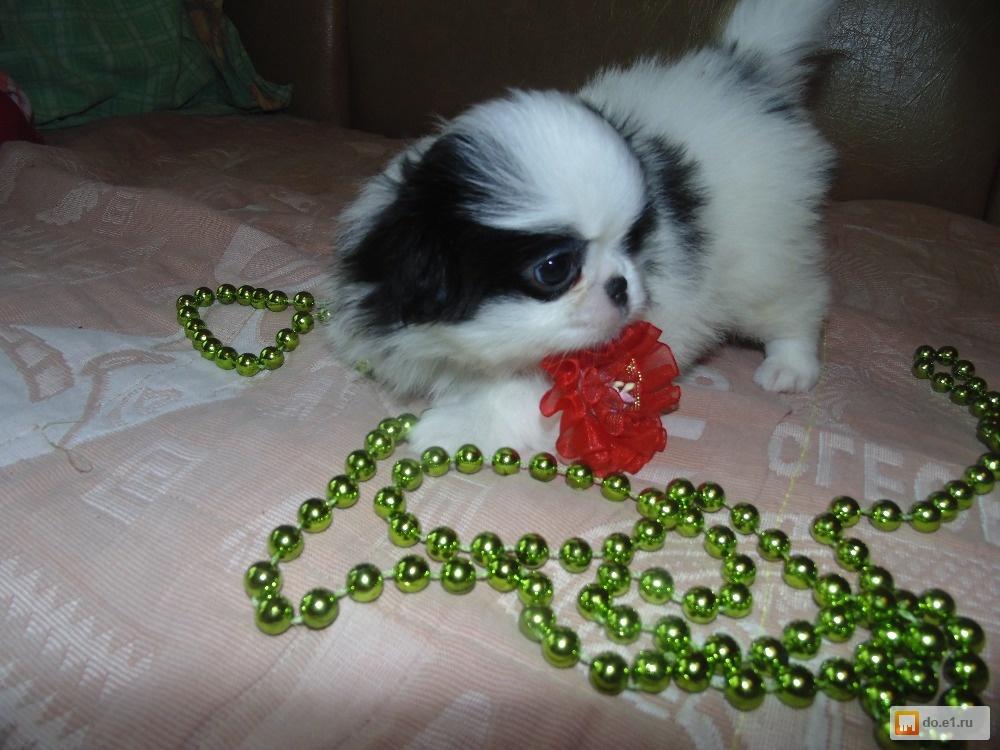 объявлениях продажа щенков японского хина образ жизни беременной