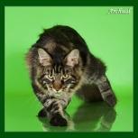 Элитные котята мейн кун, Екатеринбург