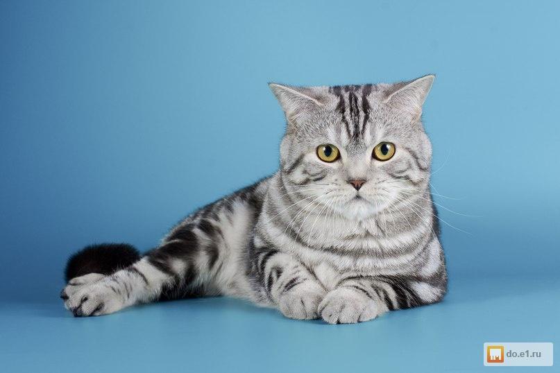 Коты для вязки скоттиш страйт